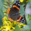 Red Admiral by Barbara Smith