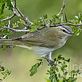 Red-eyed Vireo by Anthony Mercieca
