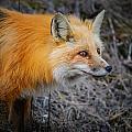 Red Fox by Brandon Smith