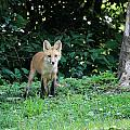 Red Fox Kit by PJQandFriends Photography