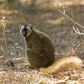 Red-fronted Brown Lemur by John Devries/science Photo Library