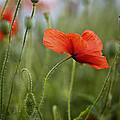 Red Poppy Flowers by Nailia Schwarz