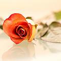 Red Rose by Elvira Pinkhas
