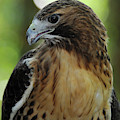 Red-tailed Hawk by Mark Conlin