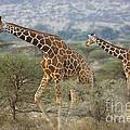 Reticulated Giraffe by John Shaw