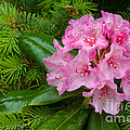 Rhododendron by John Shaw