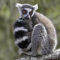 Ring-tailed Lemur by Liz Leyden