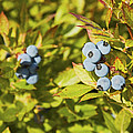 Ripe Maine Low Bush Wild Blueberries by Keith Webber Jr
