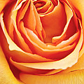 Rose  by Angela Doelling AD DESIGN Photo and PhotoArt