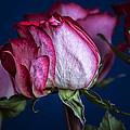 Rose Still Life by Robert Ullmann