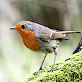 Rouge Gorge Erithacus Rubecula by Gerard Lacz
