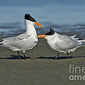 Royal Terns by Anthony Mercieca