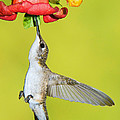Ruby-throated Hummingbird Female by Millard H Sharp