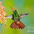 Rufous-tailed Hummingbird by Anthony Mercieca
