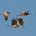 Sandhill Cranes (grus Canadensis by William Sutton