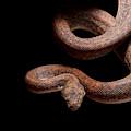 Savu Python On Tree Branch by David Kenny