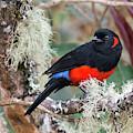 Scarlet-bellied Mountain-tanager by Juan Jose Arango