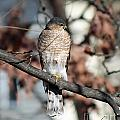 Sharp-shinned Hawk 2 by Jamie  Smith