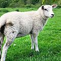Sheep In Field by Tom Gowanlock