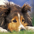 Shetland Sheepdog by Rolf Kopfle