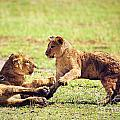 Small Lion Cubs Playing. Tanzania by Michal Bednarek