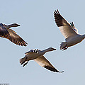 Snow Geese by Brian Williamson