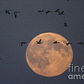 Snow Geese by James L. Amos