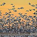 Snow Geese by Kevin Pugh