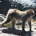 Snow Monkey by John Telfer