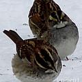 3 Sparrows by Joshua Bales