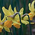 Spring Sunshine by Shirley Mitchell