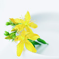 St. John's Wort (hypericum Perforatum) by Gustoimages/science Photo Library