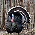 Strutting Turkey by Michael Chatt