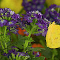 Sulphur Butterfly In The Phoebis Family by Darrell Gulin