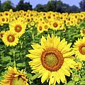 Sunflower field by Elena Elisseeva