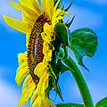 Sunflower by Michael Moriarty