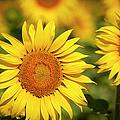 Sunflowers by Brian Jannsen