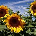 3 Sunflowers by Kerri Mortenson