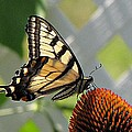 Swallowtail On Coneflower by MTBobbins Photography