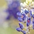 Texas Bluebonnets by Terry Fleckney