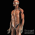 The Muscles Of The Upper Body by Science Picture Co