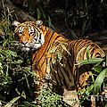 Tiger by Jon Berghoff