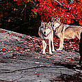 Timber Wolves Under A Red Maple Tree - Pano by Les Palenik