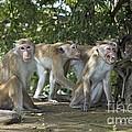 Toque Macaques by Tony Camacho