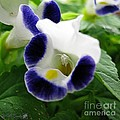 Torenia From The Duchess Mix by J McCombie