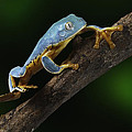 Tree frog climbing by Dirk Ercken