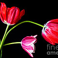 3 Tulips - 213 by Paul W Faust -  Impressions of Light