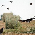 Turkey Vultures by J McCombie