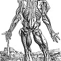 Vesalius: Muscles, 1543 by Granger