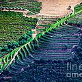 Vineyard by Edgar Laureano